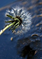 Storm is over, we are fine now! (AlfredSin) Tags: alfredsin macro macromondays relaxation canoneos760d canonef100mmf28lmacro dandelion reflections storm macrophoto waterdrop