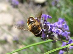 Drone fly (Eristalis tenax) (Hannah E. Davis) Tags: fly hoverfly mimic mimicry insect pollinator nature flowers flower lavender purple green garden animal wildlife macro