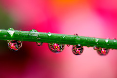 love is like the rain.. (^els^) Tags: waterdrops flowers pink summer