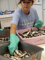 Gulf-Oil-Spill-Preparing-Fish-06-22-2010