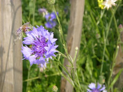 Cornflower, Bow