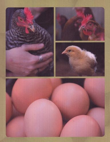 chickencanning_0011