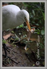 Predator and Prey (Fahim Hassan) Tags: naturaleza nature beauty birds canon action natur frog beaut environment prey hermoso predator  egret bangladesh beau belleza environnement schnheit umwelt ambiente   milieu  srimangal schoonheid             photocontesttnc11