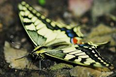 Papillon Machaon (Samuel ASSELIN) Tags: macro pentax ppg papiliomachaon papillonmachaon parcfloralvincennes pentaxphotogallery pentaxk20d legrandportequeue samassel samuelasselin pentaxdfa100mm28macro