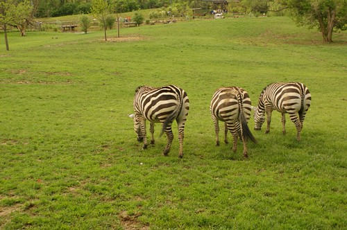 Zebra Hindquarters