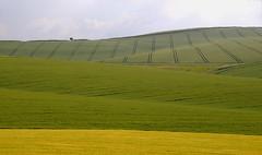 Marlborough Downs (artisan7) Tags: june wheat horizon fields wiltshire marlboroughdowns wansdyke