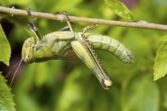 Grasshopper on Hybiscus (Antonio Giudici Butterfly Trips) Tags: grasshopper hybiscus koh phangan srithanu antoniogiudicibutterflytrips wwwantoniogiudicicom wwwthaibutterfliescom