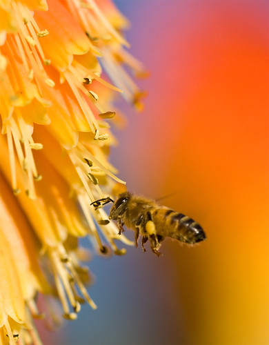 フリー写真素材, 動物, 昆虫, 蜂・ハチ, ミツバチ,