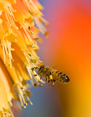 As Busy as a Bee (aussiegall) Tags: winter flower insect buzz fly wings sting bee redhotpoker