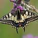 Swallowtail - Papilio machaon