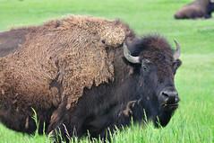 Another Badlands Bison (jc-pics) Tags: buffalo nikon sigma bison d90 nikonsigma 150500mm