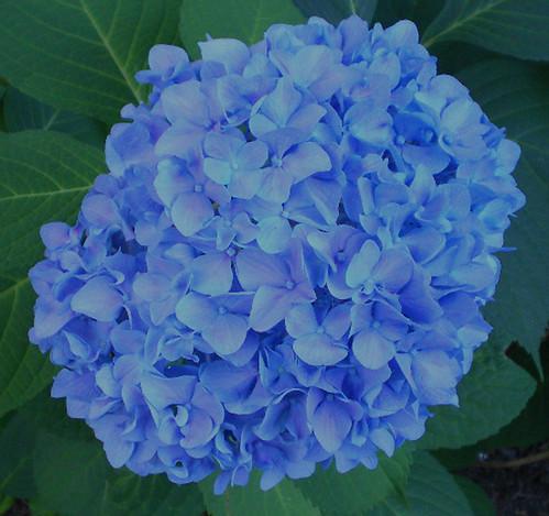 Nikko blue 2