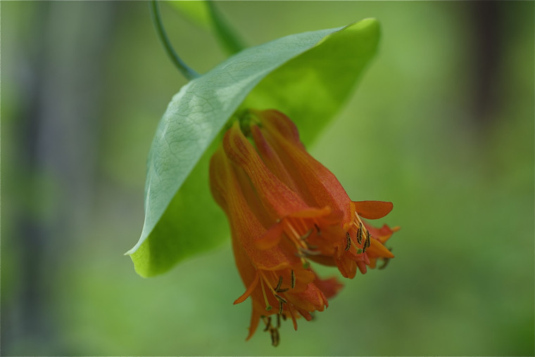 Orange Honeysuckle