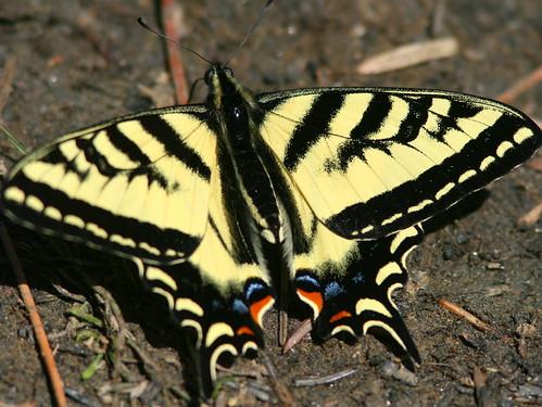 Tiger Swallowtail 20100617