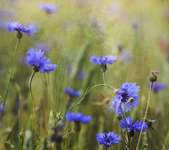 kornblumen (nettisrb) Tags: flowers blue summer naturaleza flower color texture nature colors beautiful canon germany landscape deutschland eos photo amazing fantastic artwork cornfield bokeh sommer jahreszeit jahreszeiten natur dream meadow wiese atmosphere blumen natura photograph blau bild blume landschaft brandenburg magnificent cornflower farben 2010 kornblume 70200mm kreativ korenbloem getreide bellissimo cornflowers naturesfinest texturen unglaublich kornblumen textur wunderschn traumhaft blklint gemixt ruiskukka peygamberiei naturwatcher texturework 1000d artofimages naturlife kornblumenfeld