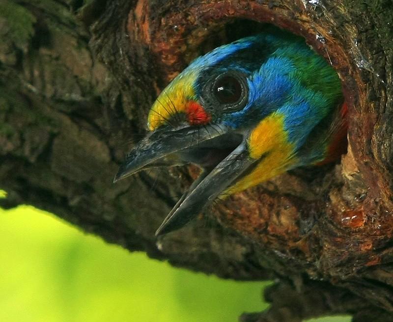 五色鳥  Taiwan Barbet
