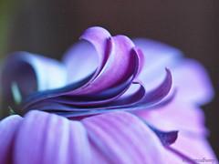 Shades of purple (montreal_bunny) Tags: flower macro nature petals purple daisy cmwdpurple awesomeblossoms perfectpurplesaturday olympuse620