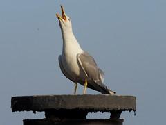I mio vicino di casa ... (fotomie2009) Tags: bird animal fauna mediterraneo seagull gabbiano reale larus zampe larusmichahellis michahellis gialle gabbianoreale gabbianorealezampegialle zampegialle