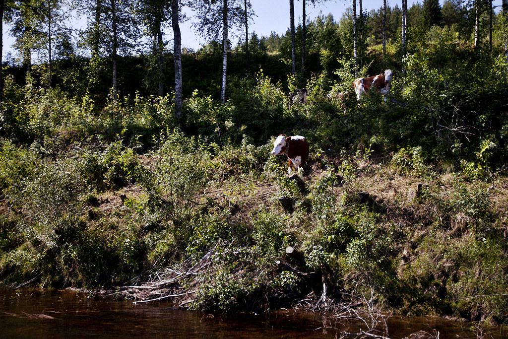 Svensexa på Klarälven