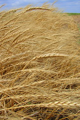 Amber Waves of Grain (Texas to Mexico) Tags: summer america waves earth wheat curves grain harvest crops growing amberwavesofgrain wherefoodcomesfrom thecurveoftheearth