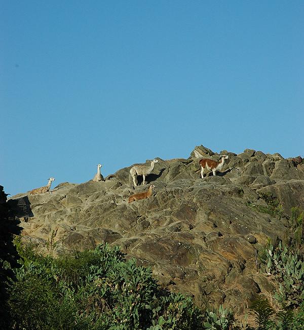 岩山のラマ