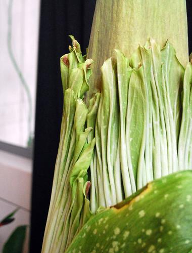 7.7.10 Amorphophallus titanum