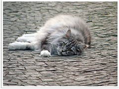 Wrmepflaster - cobble heat (Jorbasa) Tags: pet animal cat germany deutschland spring hessen explore mainecoon maxwell katze kater tier tomcat frhling wetterau cc100 jorbasa blacksilverclassictabby