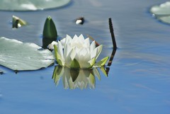 Silly Water Lily (chumlee10) Tags: lake nature water wisconsin lily sony mercer wi a300 ironcounty thegalaxy mygearandmepremium