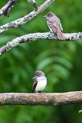 Fledged GCF (~ Michaela Sagatova ~) Tags: bird nature dundas juvenile flycatcher greatcrestedflycatcher myiarchuscrinitus dvca michaelasagatova