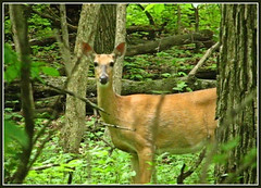 Deer Grove Woods Forest -- I See You -- Deer Freeze -- Still Frame From Video (ellenbusse) Tags: trees usa chicago nature animal animals june forest illinois woods grove wildlife doe il deer forestpreserve cookcounty whitetail whitetailed 2010 palatine deergrove