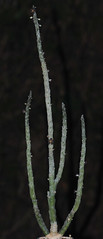 10 juillet 2010 - Rhytidocaulon ciliatum (Mafate79) Tags: yemen 2010 ciliatum asclepiadaceae rhytidocaulon tommccoy asclepiadaces asclepiadace yem87