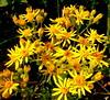 Wildflowers (daniel.d.slee) Tags: wood yellow head hay wildflower walsall gmofreeworld