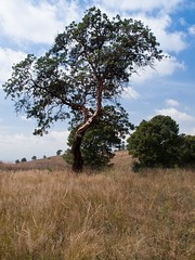 Imagen 17 (cguevara_aguilar) Tags: cielo árbol nube ‡rbol rbol cerrozapotecas