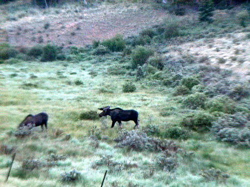 Moose near Kenosha Pass