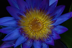 Blue kisses!!! (ineedathis) Tags: blue flower macro beauty nikon waterlily lily exotic watergarden tropical d80 gtmoore