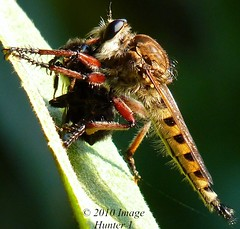 Male Robber Fly Makes A Meal Out Of A Bee (Image Hunter 1) Tags: macro nature closeup louisiana bee robberfly panasonicfz35