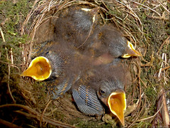 day seven.....wren- babies (Hausstaubmilbe) Tags: babies nest sony hungry dayseven confiding fastgrowing nearthewindow inaflowerpot dscw380 wrenbabiesterrace