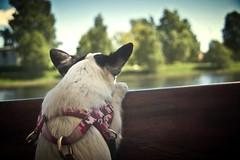 Jissa (AChristiansdotter) Tags: summer dog nature karlstad papillon vnern chiahuahua pentaxk10d btbuss