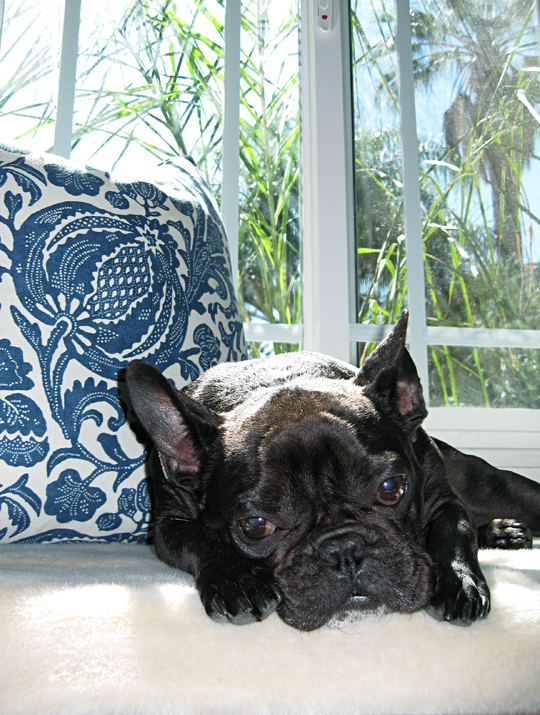 LeRoy+Black French Bulldog+Barclay Butera pillows+palms+window