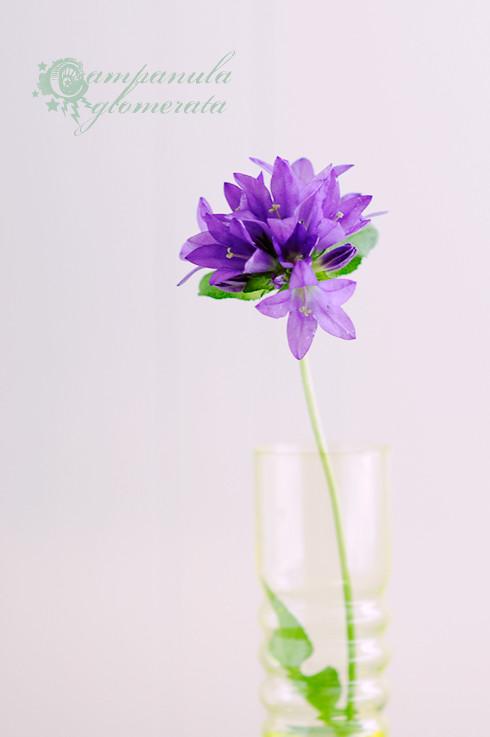 Clustered Bellflower (Campanula glomerata)