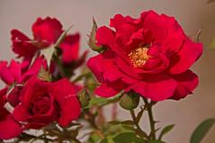 Dreams (dbushue) Tags: flowers red roses illinois 2010 naturesfinest coth supershot bej itsawonderfulworld mywinners overtheexcellence rubyphotographer damniwishidtakenthat alittlebeauty dragondaggerphoto naturallywonderful dailynaturetnc11