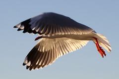 Silver gull wings (kasia-aus) Tags: sky bird nature wings seagull gull flight australia canberra act 2010 silvergull yarallumla