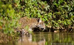 Wading Jaguar (Will Burrard-Lucas   Wildlife) Tags: brazil cat jaguar pantanal wading viaflickrqcom