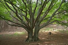 Il faggione di Luogomano / the giant beech in Luogomano (giuseppe.marchi) Tags: pentax valle beech faggio bisenzio cantagallo k10d luogomano