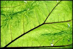 Satellite view or not? (magicoda) Tags: italy blur color detail macro verde green lines leaf nikon italia colore foto view satellite foglia fotografia dslr dettaglio d300 linee sfuocato vistadalsatellite magicoda davidemaggi maggidavide