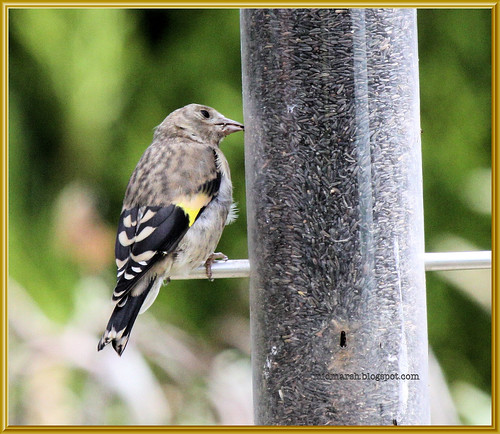 Juvenile Goldfinch 2