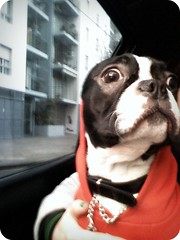 CRAZY FACE XD ( miss vani) Tags: dog cute love puppy bostonterrier sweet amor style lovely bully raper doginclothes