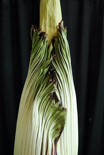 7.19.10 Amorphophallus titanum