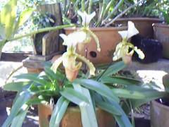 orquidea no quintal junto as outras nilgazzola (nilgazzola) Tags: orquidea gazzola nilgazzola nilgazola