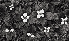 dogwoods (eyebex) Tags: saved flowers blackandwhite bw white plant flower deleted9 flora deleted6 saved5 delete7 deleted3 deleted2 saved2 deleted4 deleted10 vegetation deleted5 deleted dogwood deleted8 70 saved3 saved4 dogwoods cool7 iceboxcool unanicool
